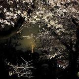 六本木ヒルズの桜☆